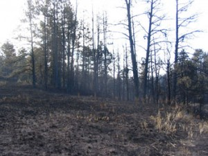 Dog hair thickets of trees after the fire