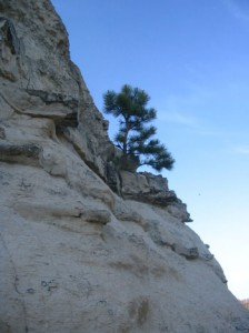 A pine tree grows out of a butte.