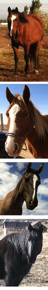 Horses partners in the Itahoba Horse program include, top to bottom, Cisco, Sugar, Talaka, and Shadow.