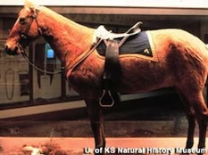 "Figure 4. Mounted pelt or skin of ""Comanche,"" a US Cavalry horse ridden in the the attack of George Armstrong Custer's 7th Cavalry troops on a Lakota and Cheyenne encampment at Greasy Grass or Little Big Horn on June 25, 1876. The exhibit is on display at the Museum of Natural History at the University of Kansas in Lawrence, Kansas."
