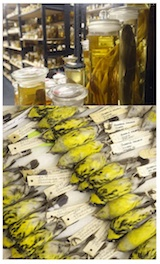 Figure 6. Whole specimens in jars of alcohol, and stuffed bird skins stored in specimen cabinets in a typical museum of natural history.