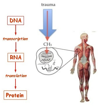 "Figure 17. Epigenetics does not change The Central Dogma, but merely ads an on-ramp to it. The body's biochemical response to trauma produces a Methyl group that attaches to DNA and blocks the process of transcription, thereby turning the gene ""off"". (See Fig. 14.)"