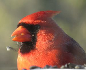 tapestry institute red cardinal