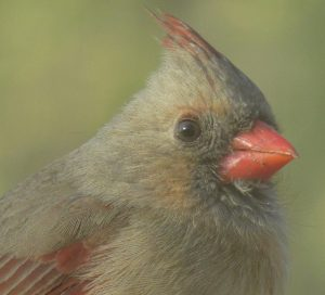 tapestry institute female cardinal