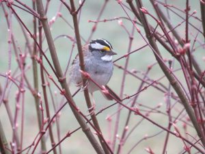 white_throated_sparrow1small
