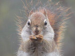 tapestry institute red squirrel