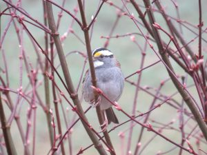 white throated sparrow tapestry institute
